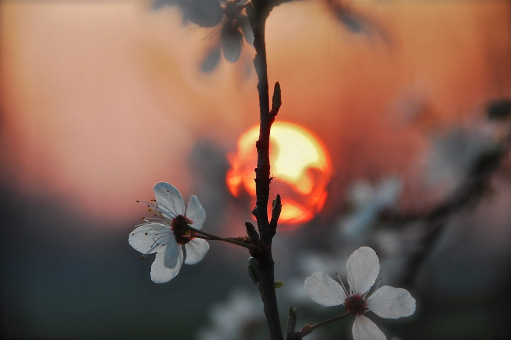 spring blossoms at dusk