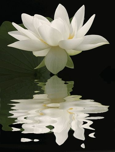 Lotus with rippling reflection