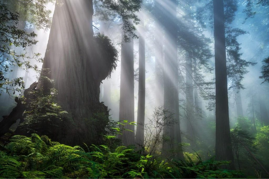 Redwood forest mist and sunlight