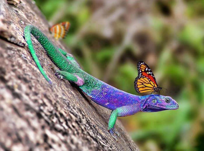 lizard with butterfly high