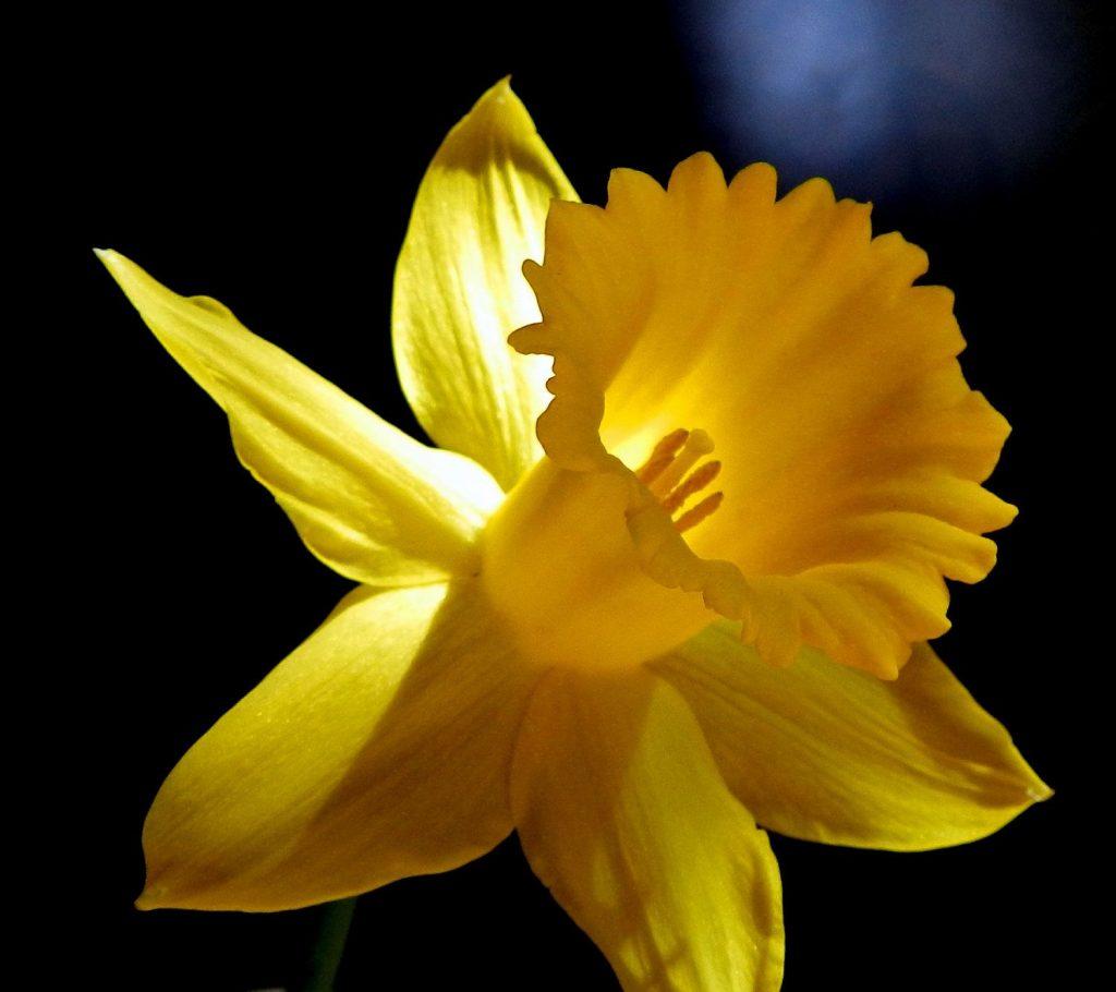 Daffodil dark & sunlight