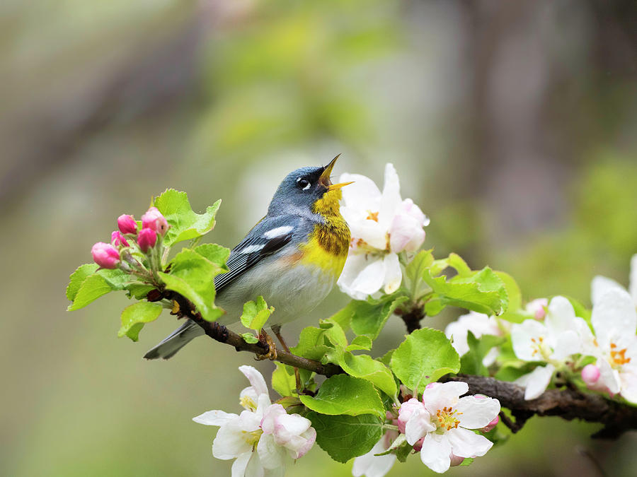 songbird amidst blossoms