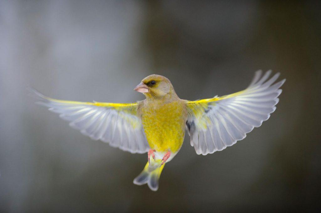 songbird in flight