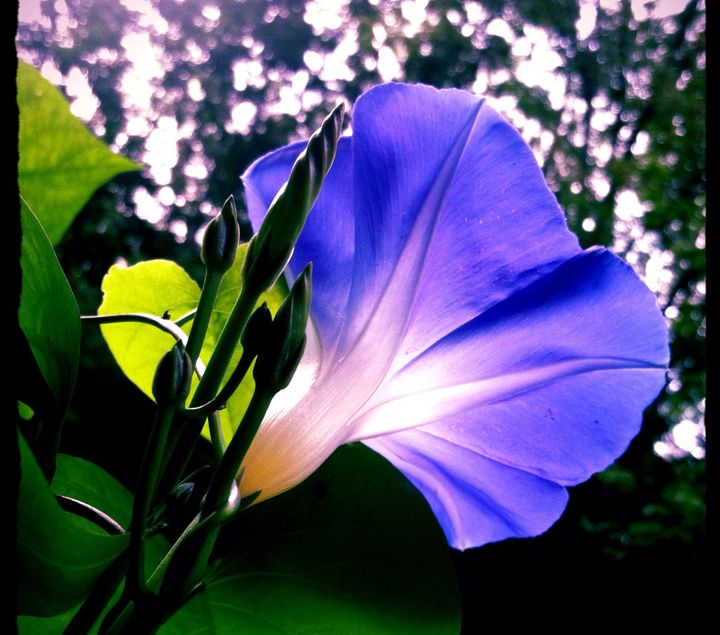morning glory lit from within