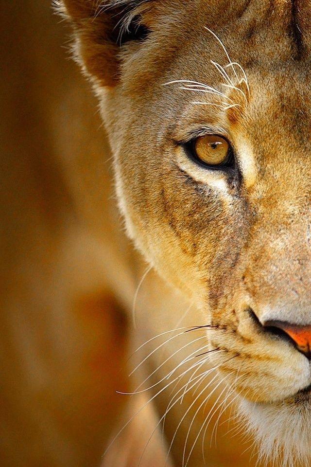 Lioness one eye
