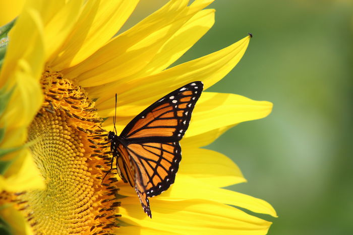 butterfly in sunflower