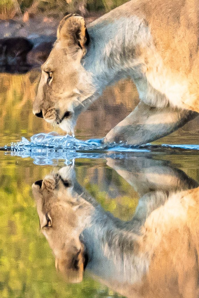 reflection of lioness in water