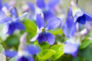 Cargo of Violets