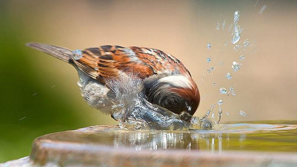 Bird drinking & splashing