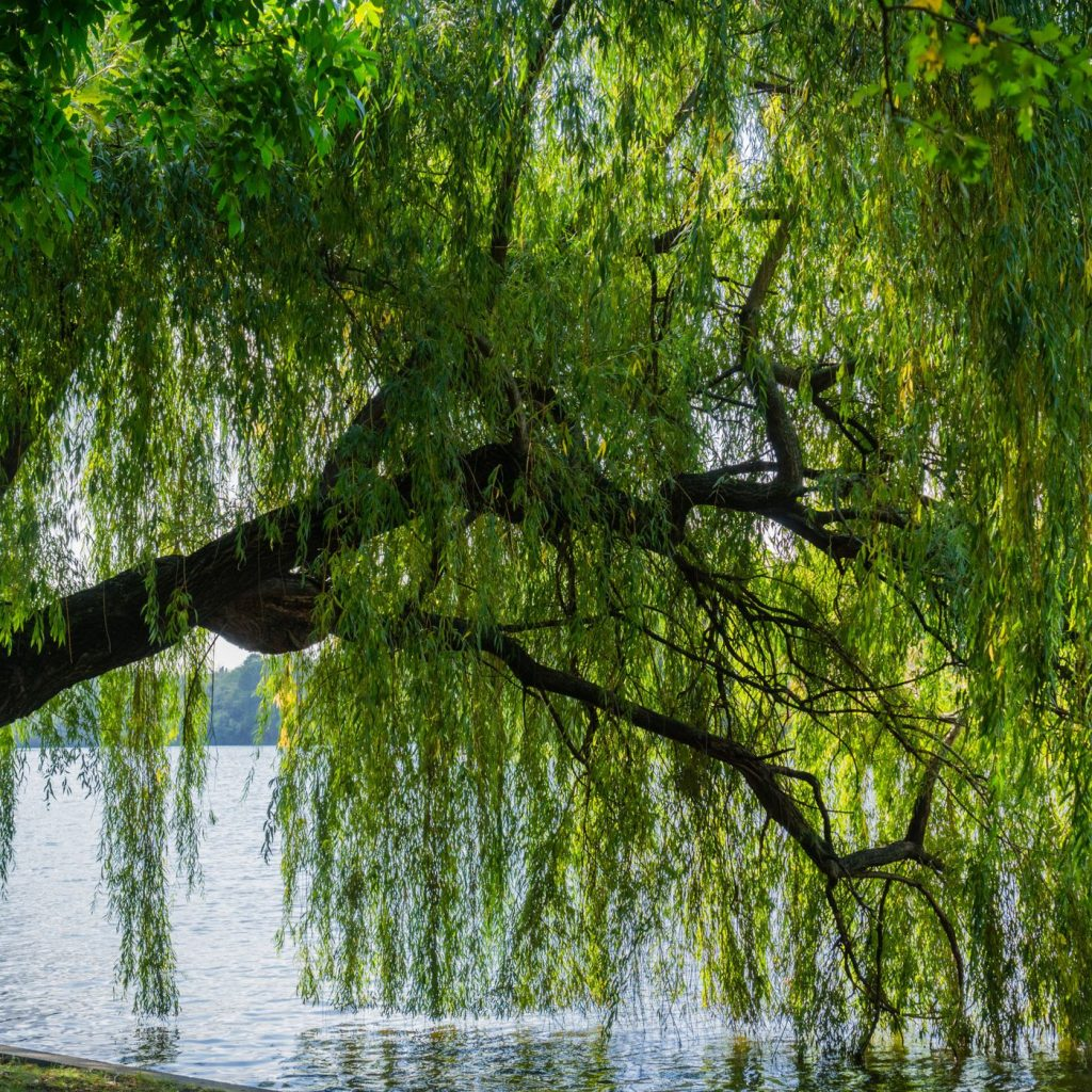 willow trees reflecting on lake
