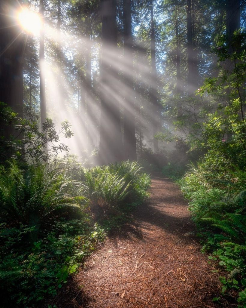 redwood forest with sunlight streaming