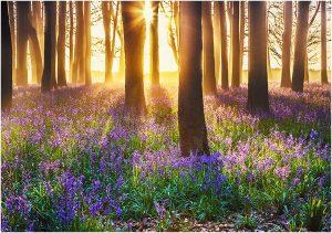 Bluebells & sunrise in forest