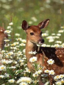 deer in meadow with flowers