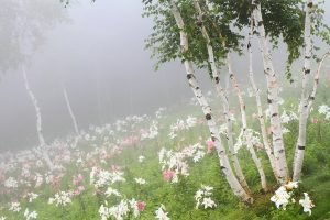 Birch Trees & wildflowers in mist