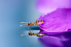 ant on flower petal reflection