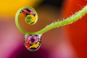 dewdrops in fern spiral reflecting flowers