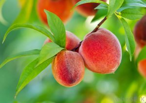 peaches on branch